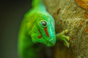 Madagaskarski gušter